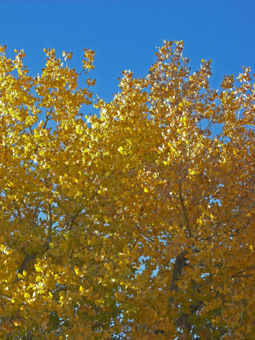 golden cottonwood tree
